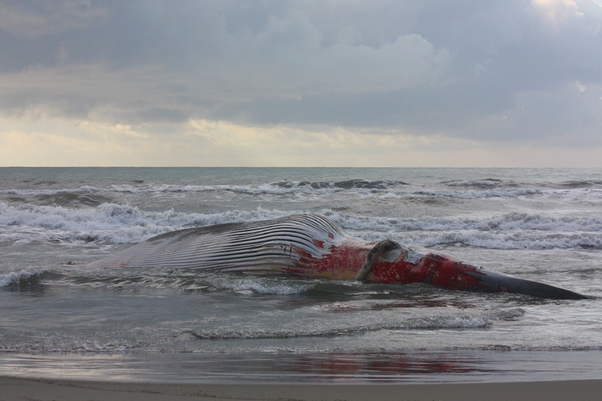 Bagno Balena Marina Di Pisa : La balena spiaggiata in versilia ..:: la voce del serchio ::.. fatti